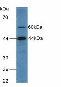 Western Blot; Sample: Human Hela Cells.