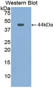 Western blot of recombinant Complement C3.  This image was taken for the unconjugated form of this product. Other forms have not been tested.