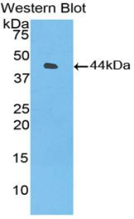 Western blot of recombinant Complement C3.