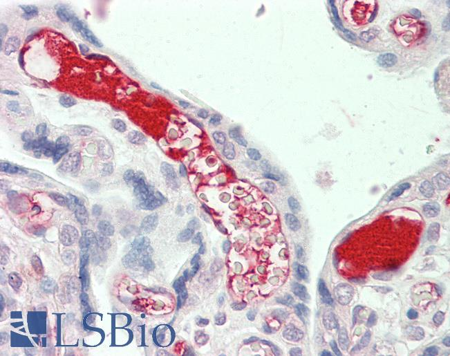 Anti-Complement C3 antibody IHC staining of human placenta. Immunohistochemistry of formalin-fixed, paraffin-embedded tissue after heat-induced antigen retrieval.