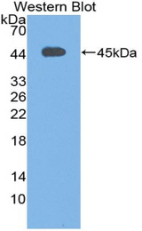 Western blot of recombinant Complement C3c.  This image was taken for the unconjugated form of this product. Other forms have not been tested.