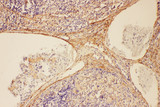 Complement C5 antibody. IHC(P): Rat Spleen Tissue.