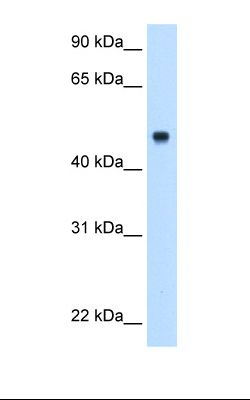 Fetal liver cell lysate. Antibody concentration: 0.5 ug/ml. Gel concentration: 12%.  This image was taken for the unconjugated form of this product. Other forms have not been tested.