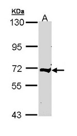 Sample (30 ug of whole cell lysate). A: Raji. 7.5% SDS PAGE. C9 antibody diluted at 1:500.