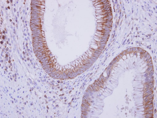 IHC of paraffin-embedded Normal Colon, using C9 antibody at 1:250 dilution.