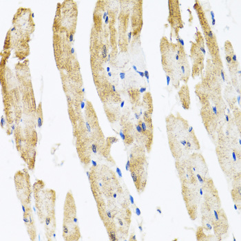 Immunohistochemistry of paraffin-embedded rat heart tissue.