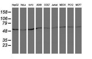 Western blot of extracts (35 ug) from 9 different cell lines by using anti-ARCN1 monoclonal antibody (HepG2: human; HeLa: human; SVT2: mouse; A549: human; COS7: monkey; Jurkat: human; MDCK: canine; PC12: rat; MCF7: human).
