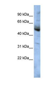 COPS4 antibody LS-C102717 Western blot of HepG2 cell lysate.  This image was taken for the unconjugated form of this product. Other forms have not been tested.