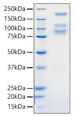 SARS-CoV-2 Spike Glycoprotein Protein - Recombinant 2019-nCoV S1+S2 ECD (S-ECD) Protein was determined by SDS-PAGE with Coomassie Blue, showing bands around 80, 110, 180 kDa.
