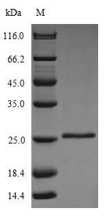 GLTP Protein - (Tris-Glycine gel) Discontinuous SDS-PAGE (reduced) with 5% enrichment gel and 15% separation gel.