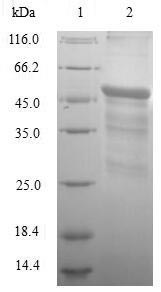 IFNW1 Protein - (Tris-Glycine gel) Discontinuous SDS-PAGE (reduced) with 5% enrichment gel and 15% separation gel.