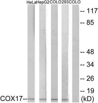 Western blot analysis of lysates from HeLa, HepG2, COLO, and 293 cells, using COX17 Antibody. The lane on the right is blocked with the synthesized peptide.
