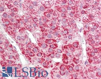 Anti-COX17 antibody IHC of human adrenal. Immunohistochemistry of formalin-fixed, paraffin-embedded tissue after heat-induced antigen retrieval. Antibody LS-B7679 dilution 10 ug/ml.