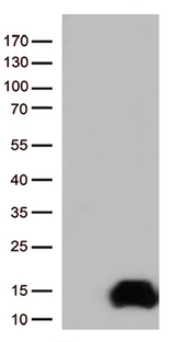 COX17 Antibody - HEK293T cells were transfected with the pCMV6-ENTRY control. (Left lane) or pCMV6-ENTRY COX17. (Right lane) cDNA for 48 hrs and lysed. Equivalent amounts of cell lysates. (5 ug per lane) were separated by SDS-PAGE and immunoblotted with anti-COX17. (1:500)