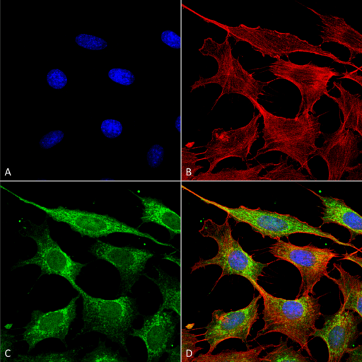 COX4 Antibody - Immunocytochemistry/Immunofluorescence analysis using Rabbit Anti-COX-4 Polyclonal Antibody. Tissue: Fibroblast cell line (NIH 3T3). Species: Mouse. Fixation: 4% Formaldehyde for 15 min at RT. Primary Antibody: Rabbit Anti-COX-4 Polyclonal Antibody  at 1:100 for 60 min at RT. Secondary Antibody: Goat Anti-Rabbit ATTO 488 at 1:200 for 60 min at RT. Counterstain: Phalloidin Texas Red F-Actin stain; DAPI (blue) nuclear stain at 1:1000, 1:5000 for 60 min at RT, 5 min at RT. Localization: Mitochondrion Inner Membrane. Magnification: 60X. (A) DAPI (blue) nuclear stain (B) Phalloidin Texas Red F-Actin stain (C) COX-4 Antibody (D) Composite.