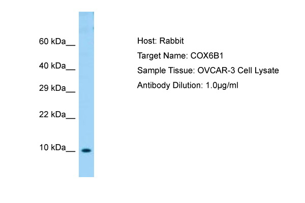 COXG / COX6B1 Antibody -  This image was taken for the unconjugated form of this product. Other forms have not been tested.