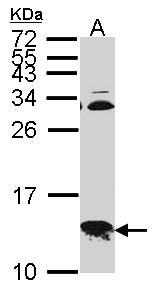 COXG / COX6B1 Antibody - Sample (30 ug of whole cell lysate). A: Hep G2 . 15% SDS PAGE. COX6B1 antibody. COXG / COX6B1 antibody diluted at 1:1000.