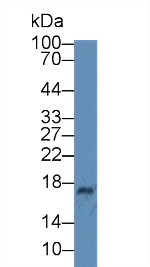 Western Blot; Sample: Human Milk; Primary Ab: 6µg/ml Mouse Anti-Human CST3 Antibody Second Ab: 0.2µg/mL HRP-Linked Caprine Anti-Mouse IgG Polyclonal Antibody