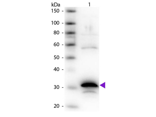CPA1 / Carboxypeptidase A Antibody - Western Blot of rabbit Anti-Carboxypeptidase A primary antibody. Lane 1: Carboxypeptidase A. Lane 2: None. Load: 50 ng per lane. Primary antibody: Carboxypeptidase A primary antibody at 1:1,000 overnight at 4°C. Secondary antibody: Peroxidase rabbit secondary antibody at 1:40,000 for 30 min at RT. Blocking: MB-070 for 30 min at RT. Predicted/Observed size: 34 kDa, 34 kDa for Carboxypeptidase A. Other band(s): Carboxypeptidase A splice varients and isoforms.