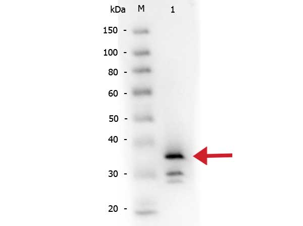 CPB / Carboxypeptidase B Antibody - Western Blot of rabbit anti-Carboxypeptidase B antibody Biotin conjugated. Lane 1: Carboxypeptidase B. Load: 50 ng per lane. Primary antibody: Rabbit anti-Carboxypeptidase B antibody Biotin conjugated at 1:1,000 overnight at 4°C. Secondary antibody: HRP conjugated rabbit secondary antibody at 1:40,000 for 30 min at RT. Block: Blocking buffer for Fluorescent Western Blotting (MB-070) at RT for 30 min. Predicted/Observed size: ~35 kDa