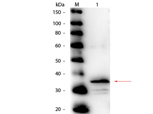 CPB / Carboxypeptidase B Antibody - Western Blot of rabbit anti-Carboxypeptidase B Antibody Peroxidase Conjugated. Lane 1: Carboxypeptidase B. Load: 50 ng per lane. Primary antibody: Rabbit anti-Carboxypeptidase B Antibody Peroxidase Conjugated at 1:1,000 overnight at 4°C. Secondary antibody: n/a. Block: MB-070 for 30 minutes at RT. Predicted/Observed size: 47 kDa, observed at 35 kDa for Carboxypeptidase B. Expected molecular weight for processed protein is ~34.7 kDa.
