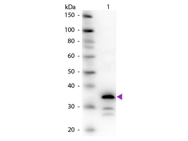 CPB / Carboxypeptidase B Antibody - Western Blot of rabbit Anti-Carboxypeptidase B antibody. Lane 1: Carboxypeptidase B. Lane 2: None. Load: 50 ng per lane. Primary antibody: Carboxypeptidase B primary antibody at 1:1,000 overnight at 4°C. Secondary antibody: Peroxidase rabbit secondary antibody at 1:40,000 for 30 min at RT. Blocking: MB-070 for 30 min at RT. Predicted/Observed size: 35 kDa, 35 kDa for Carboxypeptidase B. Other band(s): Carboxypeptidase B splice variants and isoforms.