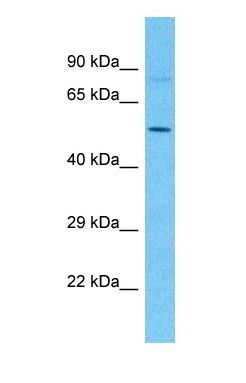 Western blot of CPOX Antibody with human 721_B Whole Cell lysate.  This image was taken for the unconjugated form of this product. Other forms have not been tested.