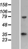 CPPED1 Protein - Western validation with an anti-DDK antibody * L: Control HEK293 lysate R: Over-expression lysate