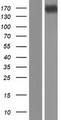 CPS1 Protein - Western validation with an anti-DDK antibody * L: Control HEK293 lysate R: Over-expression lysate