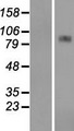 CPT1A Protein - Western validation with an anti-DDK antibody * L: Control HEK293 lysate R: Over-expression lysate