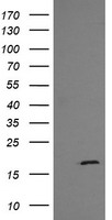 HEK293T cells were transfected with the pCMV6-ENTRY control (Left lane) or pCMV6-ENTRY GADD45G (Right lane) cDNA for 48 hrs and lysed. Equivalent amounts of cell lysates (5 ug per lane) were separated by SDS-PAGE and immunoblotted with anti-GADD45G.