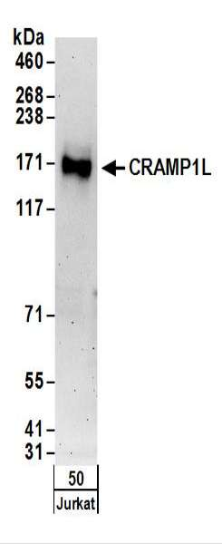 Detection of Human CRAMP1L by Western Blot. Samples: Whole cell lysate (50 ug) from Jurkat cells. Antibodies: Affinity purified rabbit anti-CRAMP1L antibody used for WB at 0.4 ug/ml. Detection: Chemiluminescence with an exposure time of 3 minutes.