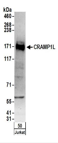 Detection of Human CRAMP1L by Western Blot. Samples: Whole cell lysate (50 ug) from Jurkat cells. Antibodies: Affinity purified rabbit anti-CRAMP1L antibody used for WB at 0.1 ug/ml. Detection: Chemiluminescence with an exposure time of 3 minutes.