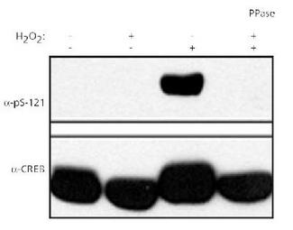 Detection of phospho-CREB in human HEK 293T cells. Top panel: probed with antibody. Bottom panel: probed with CREB antibody. Lanes 2 and 4 treated with lambda phosphatase, lanes 3 and 4 treated with 0.2 mM H202.  This image was taken for the unconjugated form of this product. Other forms have not been tested.