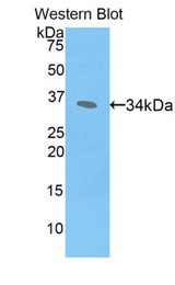 Western blot of recombinant CREBBP / CBP.  This image was taken for the unconjugated form of this product. Other forms have not been tested.
