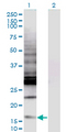 Western Blot analysis of CREBL2 expression in transfected 293T cell line by CREBL2 monoclonal antibody (M04), clone 1C1.Lane 1: CREBL2 transfected lysate (Predicted MW: 13.8 KDa).Lane 2: Non-transfected lysate.
