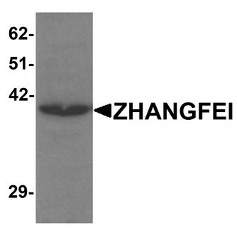 Western blot analysis of ZHANGFEI in K562 cell lysate with ZHANGFEI antibody at 1 ug/ml.