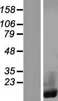 CRIP1 Protein - Western validation with an anti-DDK antibody * L: Control HEK293 lysate R: Over-expression lysate