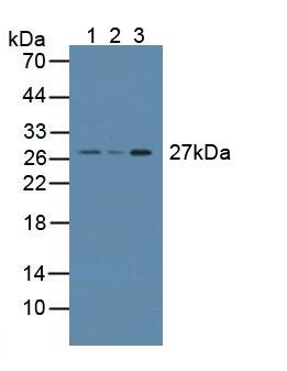 Western Blot; Sample: Lane1: Mouse Testis Tissue; Lane2: Rat Prostate Gland Tissue; Lane3: Rat Testis Tissue.