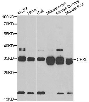 Western blot analysis of extracts of various cell lines, using CRKL antibody at 1:500 dilution. The secondary antibody used was an HRP Goat Anti-Rabbit IgG (H+L) at 1:10000 dilution. Lysates were loaded 25ug per lane and 3% nonfat dry milk in TBST was used for blocking. An ECL Kit was used for detection and the exposure time was 90s.