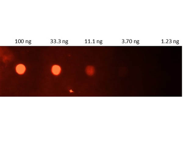 CRP / C-Reactive Protein Antibody - Dot Blot of Goat Anti-Human CRP Antibody FITC. Lane 1: 100ng. Lane 2: 33.3ng. Lane 3: 11.1ng. Lane 4: 3.7ng. Lane 5: 1.23ng. Secondary Antibody: 209-1232 Gt-a-hu CRP Fluorescein 1:1000. Blocking Buffer: MB-073 for 1 hour RT.
