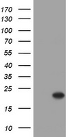 HEK293T cells were transfected with the pCMV6-ENTRY control (Left lane) or pCMV6-ENTRY CRYAA (Right lane) cDNA for 48 hrs and lysed. Equivalent amounts of cell lysates (5 ug per lane) were separated by SDS-PAGE and immunoblotted with anti-CRYAA.