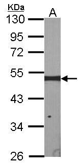 Sample (30 ug of whole cell lysate). A: NIH-3T3. 10% SDS PAGE. ERCC8 antibody diluted at 1:1000.