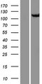 CSE1L Protein - Western validation with an anti-DDK antibody * L: Control HEK293 lysate R: Over-expression lysate