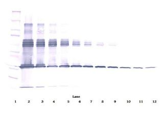 Western Blot (non-reducing) of CSF1 / M-CSF antibody. This image was taken for the unconjugated form of this product. Other forms have not been tested.
