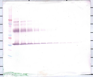 Biotinylated Anti-Human M-CSF Western Blot Unreduced