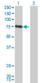 Western Blot analysis of CSF1 expression in transfected 293T cell line by CSF1 monoclonal antibody (M01), clone 1A9.Lane 1: CSF1 transfected lysate(60.1 KDa).Lane 2: Non-transfected lysate.