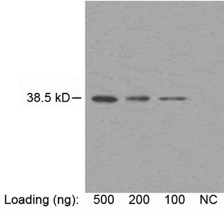 Loading: purified recombinant human-CSF Primary antibody: 2 ug/ml Mouse Anti-M-CSF Monoclonal Antibody M-CSF Antibody, mAb, Mouse Secondary antibody: Goat Anti-Mouse IgG (H&L) [HRP] Polyclonal Antibody The signal was developed with LumiSensor HRP Substrate Kit