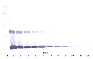 Anti-Murine M-CSF Western Blot Reduced