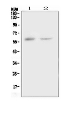 Western blot analysis of CSF1 using anti-CSF1 antibody. Electrophoresis was performed on a 5-20% SDS-PAGE gel at 70V (Stacking gel) / 90V (Resolving gel) for 2-3 hours. The sample well of each lane was loaded with 50ug of sample under reducing conditions. Lane 1: human placenta tissue lysates,Lane 2: human 293T whole cell lysate. After Electrophoresis, proteins were transferred to a Nitrocellulose membrane at 150mA for 50-90 minutes. Blocked the membrane with 5% Non-fat Milk/ TBS for 1.5 hour at RT. The membrane was incubated with rabbit anti-CSF1 antigen affinity purified polyclonal antibody at 0.5 µg/mL overnight at 4°C, then washed with TBS-0.1% Tween 3 times with 5 minutes each and probed with a goat anti-rabbit IgG-HRP secondary antibody at a dilution of 1:10000 for 1.5 hour at RT. The signal is developed using an Enhanced Chemiluminescent detection (ECL) kit with Tanon 5200 system. A specific band was detected for CSF1 at approximately 60KD. The expected band size for CSF1 is at 60KD.